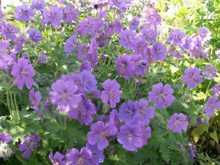 47 best plants for my garden images on pinterest. Black Bedroom Furniture Sets. Home Design Ideas
