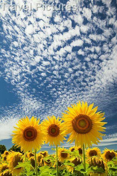Sunflowers Reaching For a Spectacular Sky.