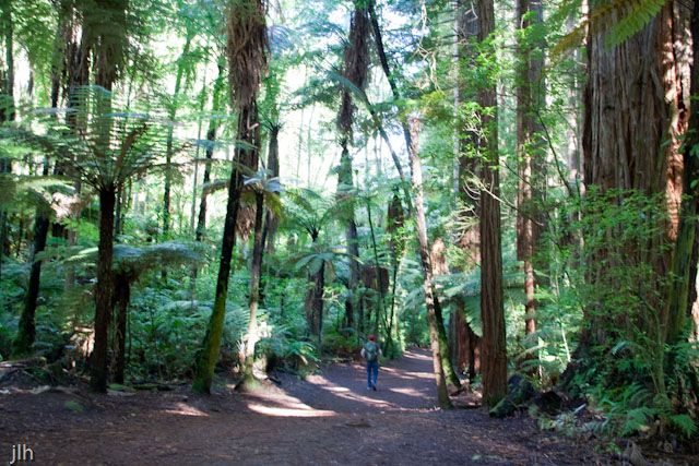 The ferns in the Redwood forest in Rotorua always amazes us and makes for great photography.