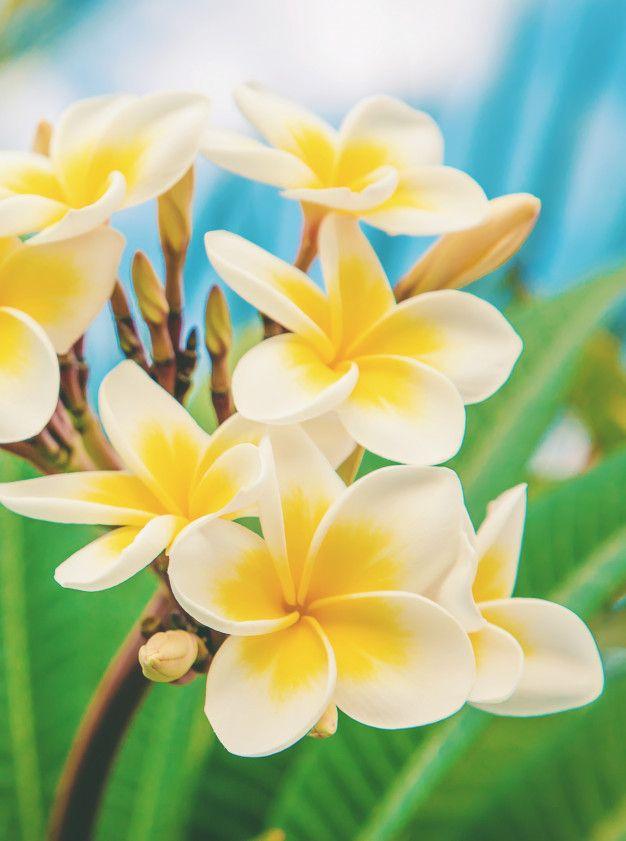 空を背景に咲くプルメリアの花 プルメリアの花 ハワイ 花 花 壁紙