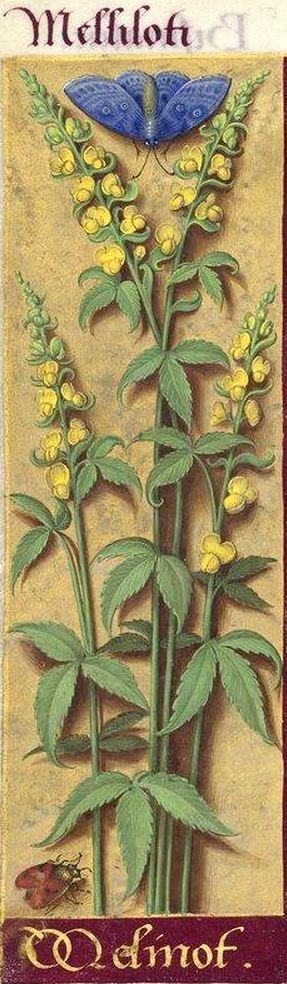 Melinot - Melliloti (Melilotus officinalis Lam. = mélilot) -- Grandes Heures d'Anne de Bretagne, BNF, Ms Latin 9474, 1503-1508, f°231v