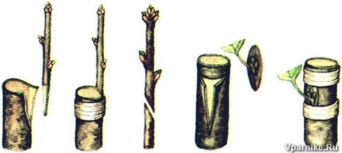 Штамбовый крыжовник можно получить не только, вырастив его из корнесобственного саженца, но и с помощью прививки на золотистую смородину.
