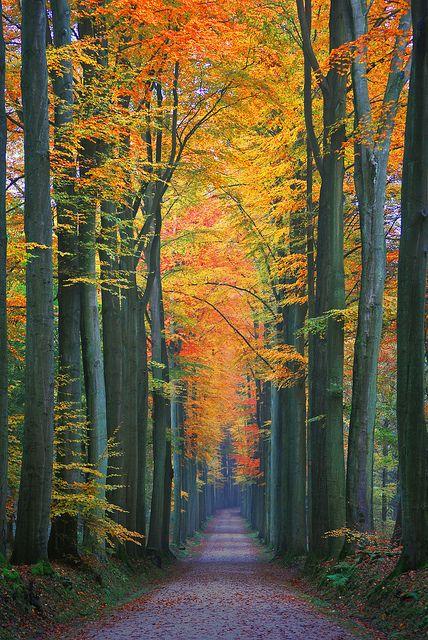 Autumn Solitude    Kapucijnendreef, forêt de Soignes, close to the Tervuren arboretum.
