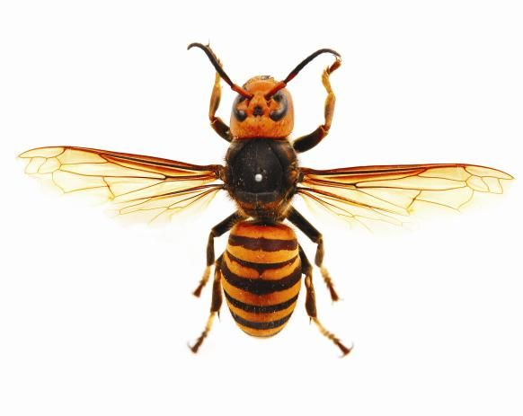 asian+hornet | Published March 17, 2011 at 582 × 463 in Japanese Giant Hornet