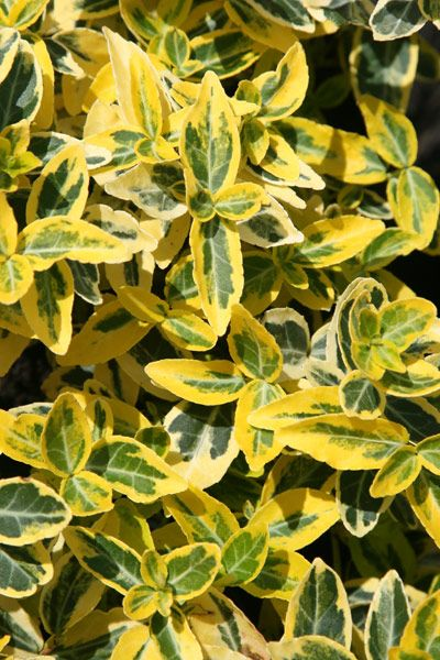 February - Winter creeper Euonymus fortunei 'Emerald 'n' Gold' may not set your heart racing, but it does have its uses. It is tough and undemanding and will provide sunshine yellow throughout the winter. Once established it will take dry shade in its stride, and therefore it's perfect for creating year-round groundcover under deciduous trees and shrubs.