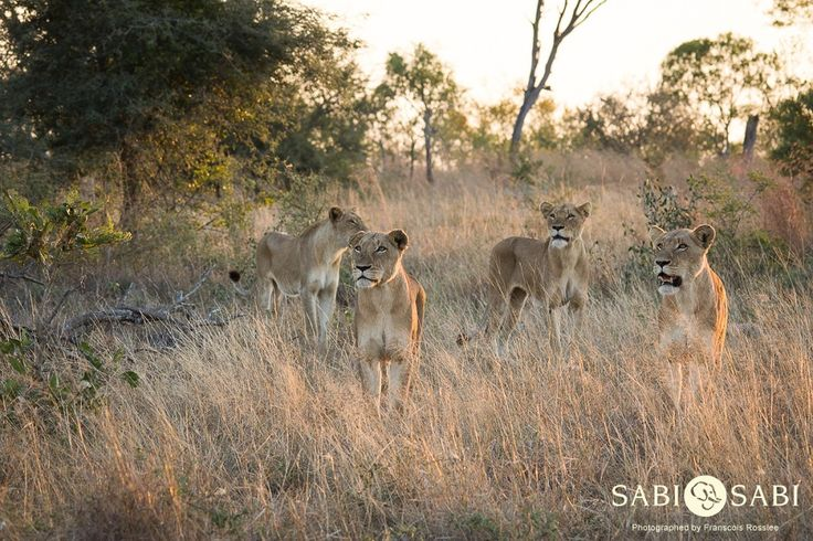 The Southern Pride females stare over an open area in search of a much needed meal.