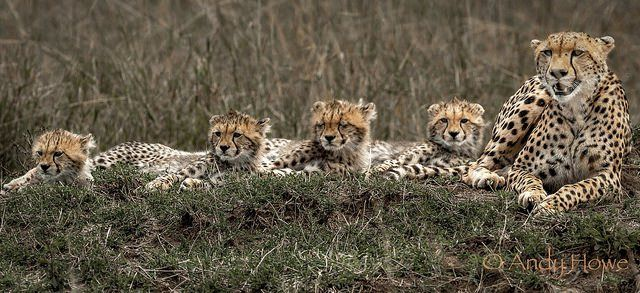 Proud cheetah supermon with her four cubs in the Masai Mara, Kenya by Andy Howe Photography Website Twitter