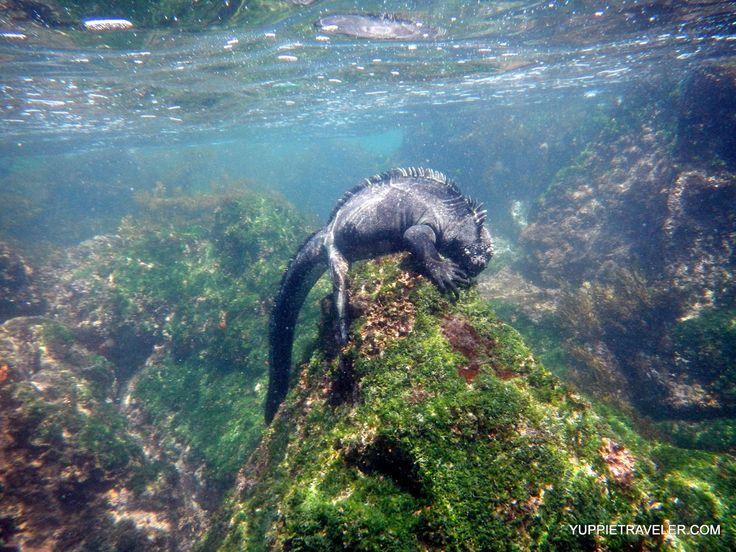 Image result for marine iguana swimming