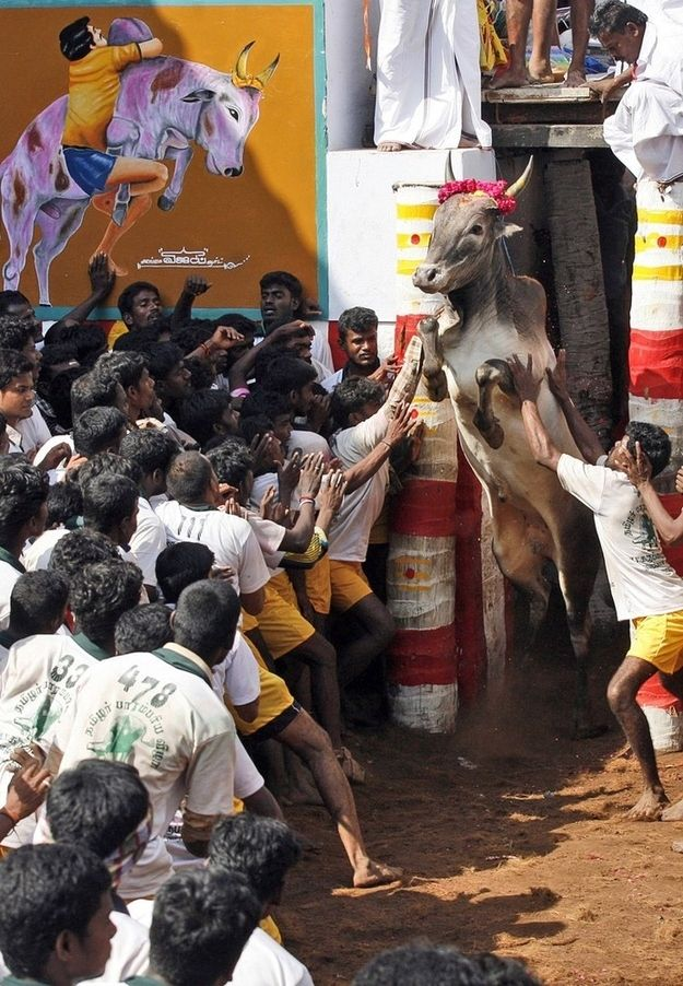 The Pongal Harvest is an annual three-day celebration in Tamil Nadu. Here a bull charges out from an enclosure during the bull-taming event in Alanganallur as part of the festivities.