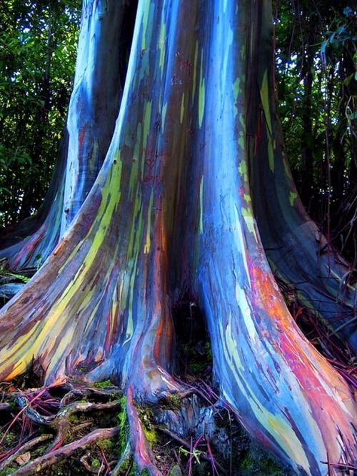 Rainbow Eucalyptus trees on Maui, Hawaii  The phenomenon is caused by patches of bark peeling off at various times and the colors are indicators of age. A newly shed outer bark reveals bright greens which darken over time into blues and purples and then orange and red tones