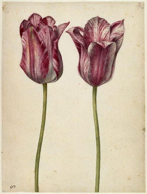 Georg Flegel, Two persian tulips, 1630. Frankfurt, Germany. Watercolour. ©Kupferstichkabinett der Staatlichen Museen zu Berlin - Preußischer...