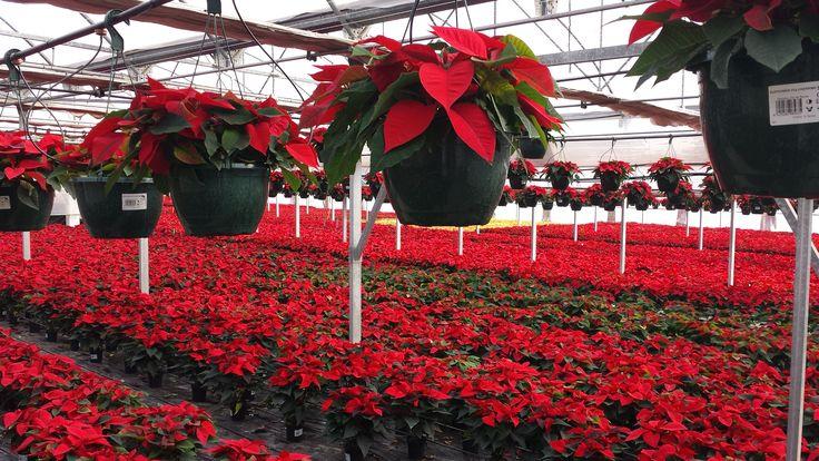 ya están casi listas para decorar hogares y espacios navideños