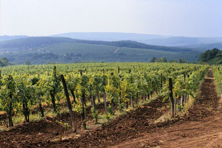 Vinyards in Eger Wine Region