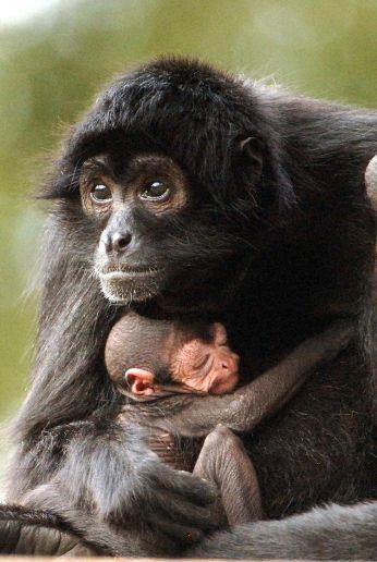 Black Headed Spider Monkey mother and newborn, Miami FL