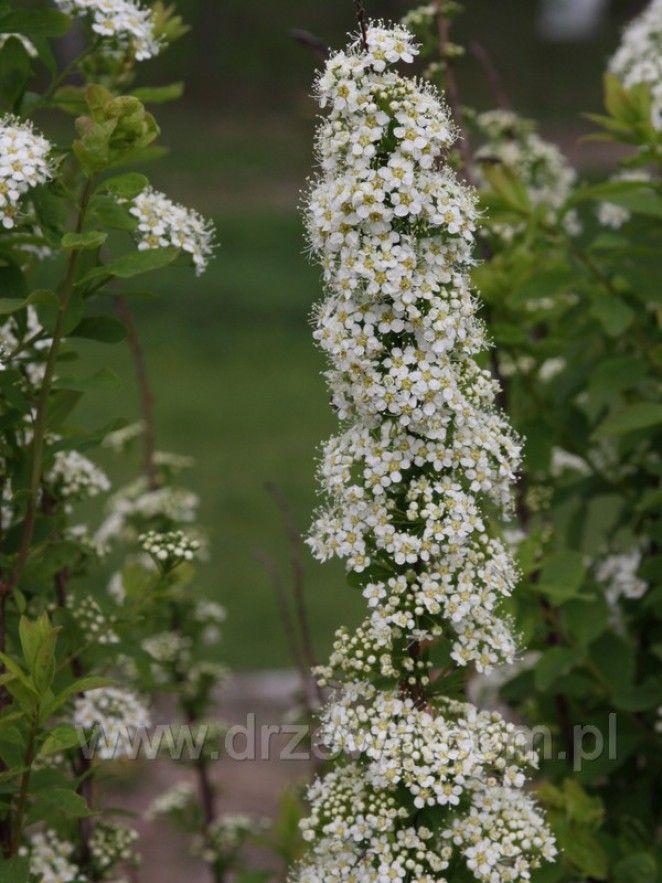 Tawuła średnia - Spirea media - osiąga do 1,5m wys.Liście są jasnozielone, kwiaty białe, zebrane w baldachogrona; kwitnie od maja do lipca.