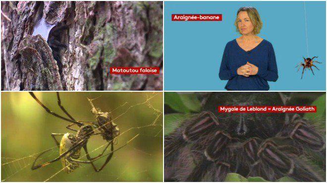 Connaissez-vous les effets d'une morsure d'araignée-banane sur l'homme ? Redoutable aphrodisiaque, à tel point que des laboratoires s'y intéressent très sérieusement ! Les venins, le fil de soie des araignées sont des sources de recherche inépuisables. mots clés : araignées banane  venin  morsures  site: franceinfo