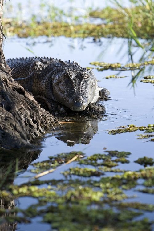 Salt Water Crocs are one of the well known animals of Australia. They are actually adaptable to both fresh water and salt water.