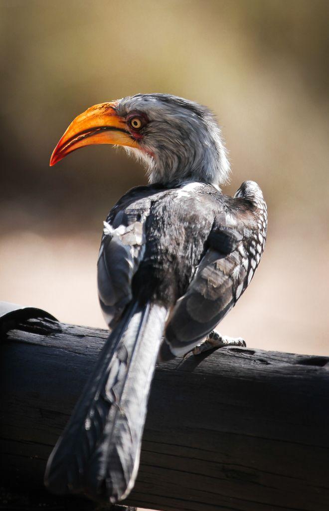 Southern yellow-billed hornbill (Tockus leucomelas), Kruger National Park, South Africa.  (c) Miikka Järvinen, from my gallery South African Wildlife http://miikkajarvinen.wordpress.com/2014/02/21/south-african-wildlife/