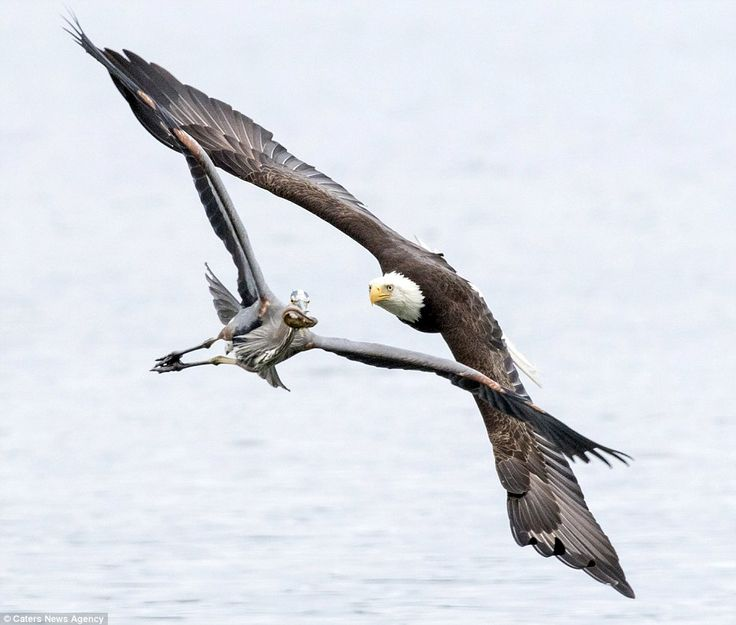 The bald eagle swoops and flies in pursuit of the fish lodged in the mouth of the plucky heron that desperately tries to evade the bird of prey