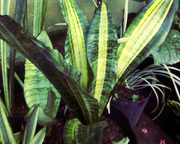 36 best nollzz home garden images on pinterest for Philippine garden plants