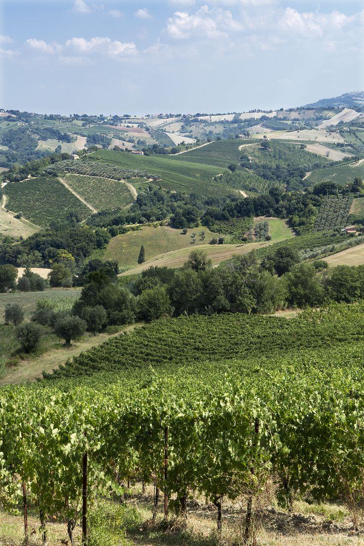 La Marca di San Michele vines in the beautiful green Marche region.