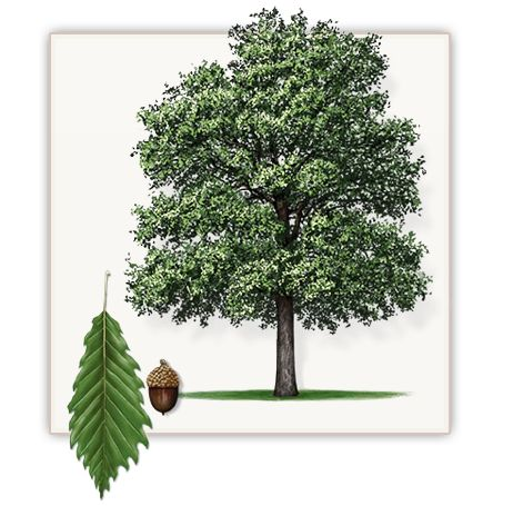 Chinquapin Oak Tree | Mature Height: 50' - 60' | Fall Color: Yellow & Orange | Growth Rate: 1' - 2' Per Year #trees #landscaping #gardening
