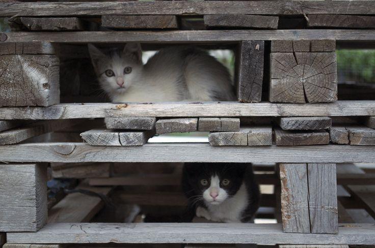 Atentos y curiosos a todo lo que se mueve. Paseando por nuestros pueblos ya es fácil encontrar grupos de gatitos que salen a explorar el entorno en compañía de su madre. Se hacen grandes, y y es un disfrute ver la alegría con la que juegan.