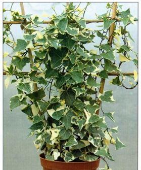 Variegated wax vine senecio macroglossus variegatus house plants pinterest climbing - House plants vines ...