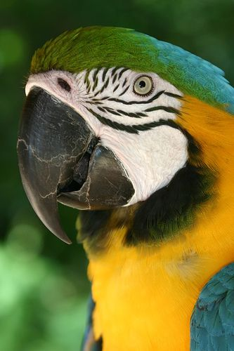 Papagayo  - Animal -> Por: Angel Catalán Rocher <- Sígueme!