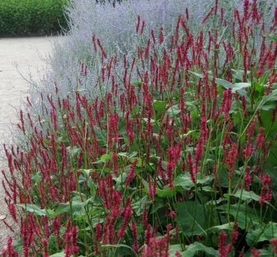 Persicaria amplexicaulis 'Firetail' - Red mountain fleece beside silver foliage, great contrast.