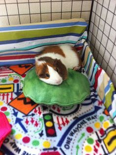 Guinea pig pillows and pads