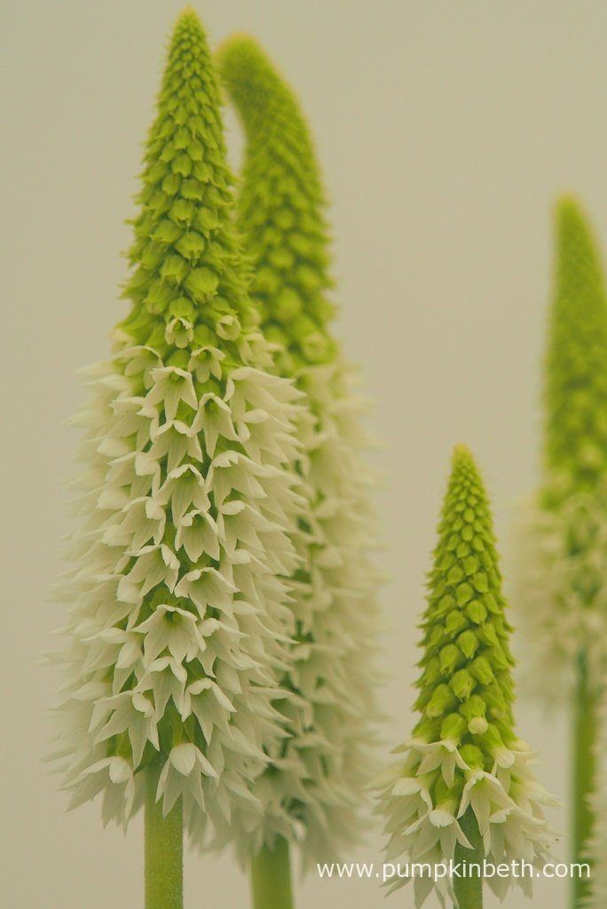 Primula vialii 'Alison Holland' produces green tinged buds, which open to pure white flowers.