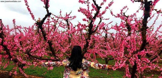 Cherry Blossom Festival In Spain Josestraveltales Com