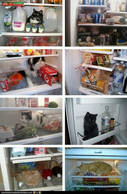 On a hot dayFunny Kitty, Cat Things, What In Your Fridge, Cat Meow, Refrigerator, Kitty Catz, Funny Animal,  Icebox, Kittycat