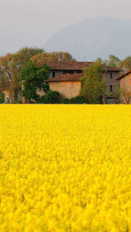 Campo Di Colza, Cavernago, Lombardy, Italy