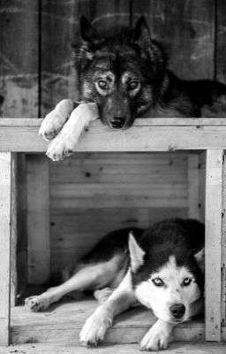 En un trabajo llamado perros de trineos hay un lobo muy arrogante per… #romance # Romance # amreading # books # wattpad
