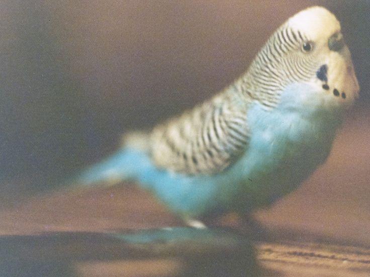 Putzi (1972-1977), onze 2e parkiet. Handtam en kon een beetje praten.