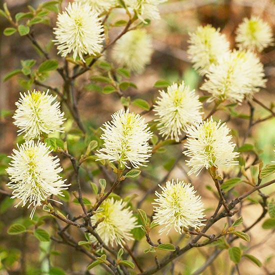 Fothergilla get detailed growing information on this plant for Garden plant information