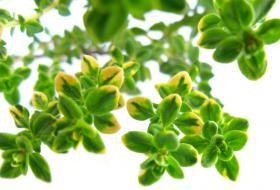 tymián pěstování Nezastupitelné místo má tymián také v lidovém léčitelství, protože je jednou z nejsilněji antisepticky působících bylin vůbec. Tymián se používá při nemocech horních cest dýchacích, je účinný proti bakteriím, plísním a střevním parazitům. Pěstování tymiánu je možné v záhonu na zahrádce i v truhlíku a květináči za oknem. Pěstujeme jej na slunném místě chráněném proti prudkému větru. Semena tymiánu vyséváme v březnu - dubnu přímo na místo do řádků vzdálených (40 cm) na povrch…