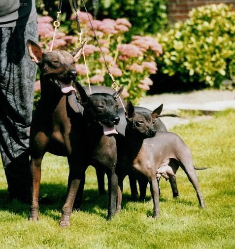 Peruvian Inca Orchid Dog Breed Information - American