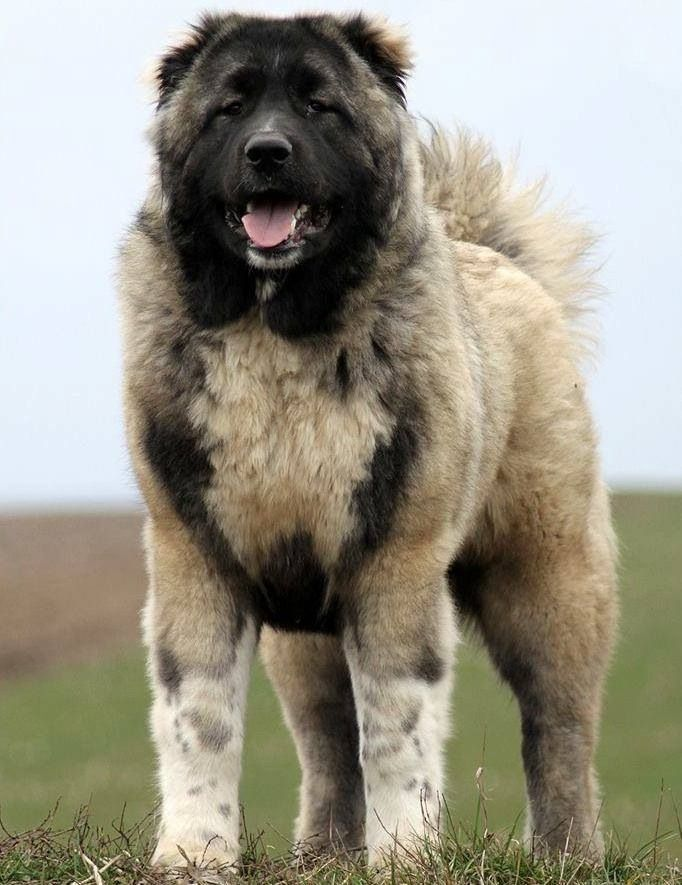 Caucasian Shepherd Dog also known as the Caucasian ...