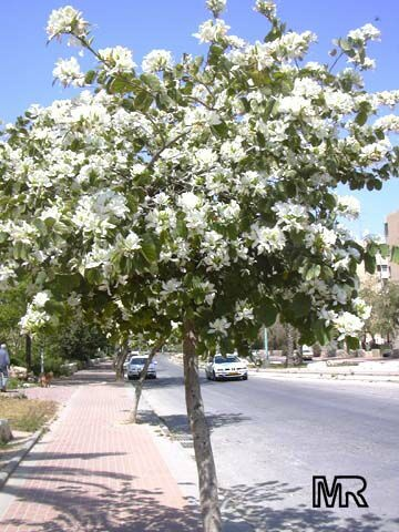 Best 25 Sweet Olive Tree Ideas On Pinterest Pruning