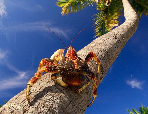 Robber crab - Birgus latro