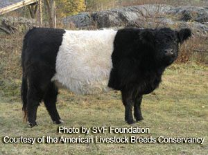 American Livestock Breeds Conservancy: Belted Galloway Cattle