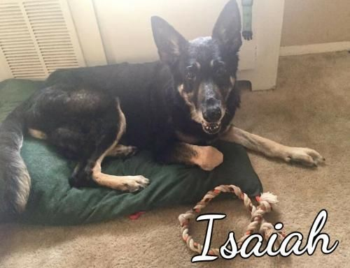 Isaiah is an adoptable Dog - German Shepherd Dog searching for a forever family near Spanish Fort, AL. Use Petfinder to find adoptable pets in your area.