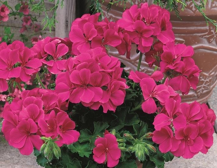 The 185 best pink geraniums images on pinterest geraniums flowers geranium caliente dark rose mightylinksfo