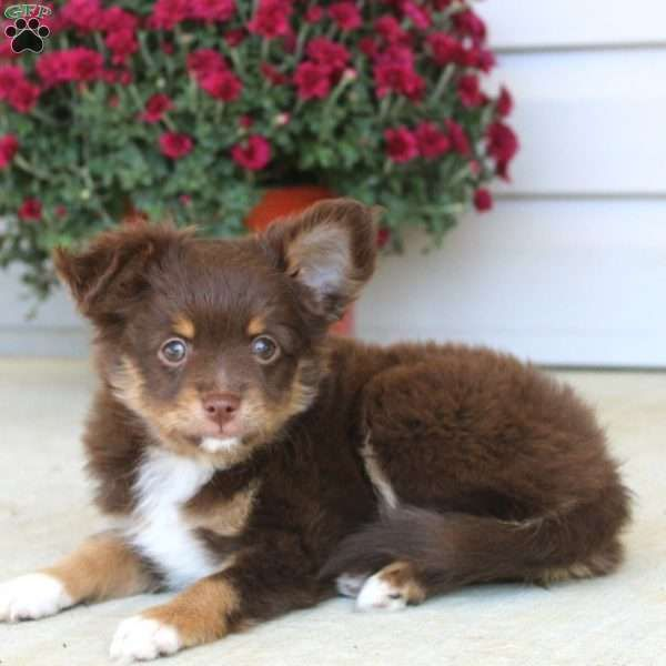 Toy Australian Shepherd Mix Puppies For Sale Greenfield Australian