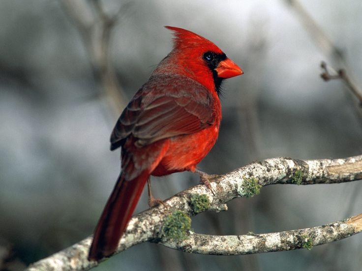 Wat is een rode kardinaal? - Plazilla.com