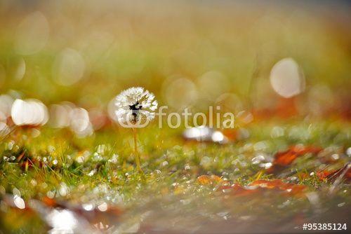 """Pobierz zdjęcie royalty free  """"dandelion on field in autumn"""" autorstwa bereta w najniższej cenie na Fotolia.com. Przeglądaj naszą bazę tanich obrazów online i odnajdź doskonałe zdjęcie stockowe do Twoich projektów reklamowych!"""