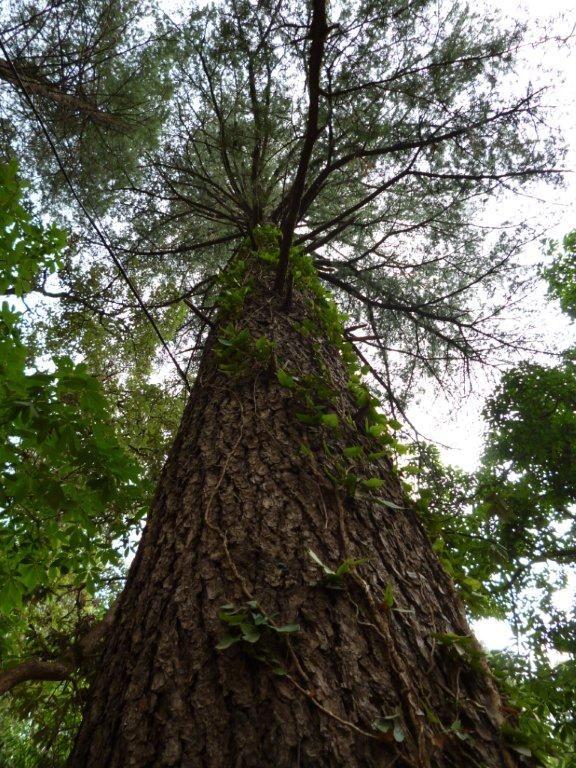 Tree with climber